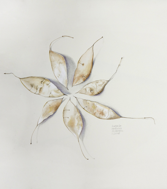 Lunaria rediviva | ausdauerndes Silberblatt